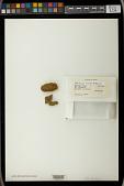 view Mitrobryum koelzii H. Rob. digital asset number 1