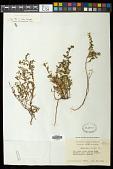 view Euphorbia anthonyi Brandegee digital asset number 1