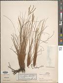 view Paspalum filifolium Nees ex Steud. digital asset number 1