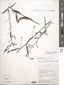 view Melochia graminifolia A. St.-Hil. digital asset number 1