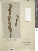 view Ligustrum vulgare L. digital asset number 1