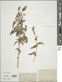 view Salvia polystachya Cav. digital asset number 1