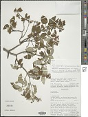 view Hemizygia madagascariensis A.J. Paton & Hedge digital asset number 1
