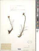 view Werneria villosa A. Gray digital asset number 1