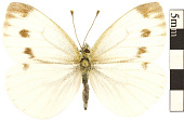 view Cabbage White digital asset number 1