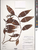 view Dichorisandra hexandra (Aubl.) Standl. digital asset number 1