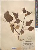 view Malus kansuensis (Batalin) C.K. Schneid. digital asset number 1