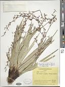 view Cephalocarpus montanus (Ridley) S.M. Costa digital asset number 1