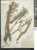view Liatris punctata var. mucronata (DC.) B.L. Turner digital asset number 1
