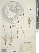 view Carex vahlii Schkuhr digital asset number 1