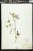 view Hibiscus trionum L. digital asset number 1