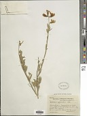 view Lebeckia cytisoides Thunb. digital asset number 1