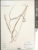 view Lolium temulentum L. subsp. temulentum digital asset number 1