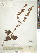 view Pyrola angustifolia (Alef.) Hemsl. digital asset number 1