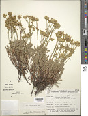 view Eriogonum umbellatum var. dichrocephalum Gand. digital asset number 1