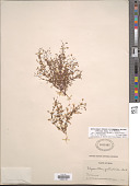 view Lindernia dubia (L.) Pennell digital asset number 1