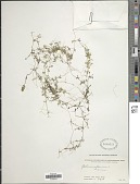 view Galium aparine L. digital asset number 1