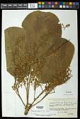 view Sterculia striata A. St.-Hil. & Naudin digital asset number 1