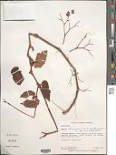 view Begonia domingensis A. DC. var. domingensis digital asset number 1