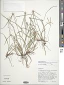 view Cyperus brevifolioides Thieret & Delahouss. digital asset number 1