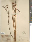 view Libertia ixioides (G. Forst.) Spreng. digital asset number 1