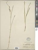 view Carex phacota Spreng. digital asset number 1