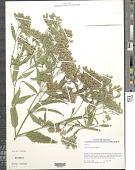 view Eupatorium serotinum Michx. digital asset number 1