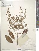 view Bredemeyera lucida (A.W. Benn.) Benth. digital asset number 1