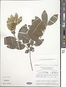 view Securidaca tenuifolia digital asset number 1