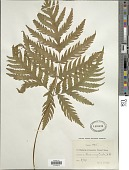 view Tectaria mexicana (Fée) C.V. Morton digital asset number 1