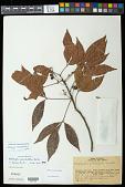 view Allophylus melanophloeus Radlk. digital asset number 1