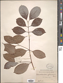 view Elaeodendron glaucum Pers. digital asset number 1