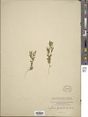 view Centaurium pulchellum (Sw.) Druce digital asset number 1
