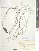 view Oldenlandia lancifolia (Schumach.) DC. digital asset number 1