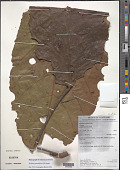 view Sloanea grandiflora Sm. digital asset number 1