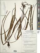 view Lepisorus validinervis (Kunze) Li S. Wang digital asset number 1