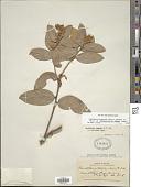 view Gaultheria eriophylla var. mucronata Luteyn digital asset number 1