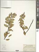 view Wikstroemia phillyreifolia A. Gray digital asset number 1