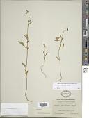 view Clarkia rhomboidea Douglas ex Hook. digital asset number 1