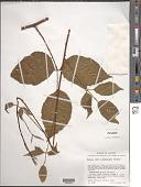 view Rubus liebmannii Focke digital asset number 1