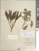 view Centropogon ferrugineus f. subaequus E. Wimm. in Engl. digital asset number 1