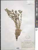 view Corydalis moorcroftiana Wall. ex Hook. f. & Thomson digital asset number 1