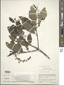 view Garrya longifolia Rose digital asset number 1