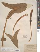 view Peltandra virginica (L.) Schott digital asset number 1