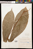 view Herrania purpurea (Pittier) R.E. Schult. digital asset number 1