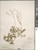 view Micranthes stellaris subsp. robusta (Engl.) Gornall digital asset number 1