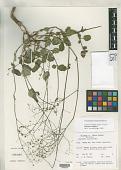 view Boerhavia diffusa L. digital asset number 1