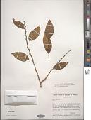 view Dulacia inopiflora (Miers) Kuntze digital asset number 1
