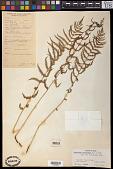 view Thelypteris palustris (Salisb.) Schott digital asset number 1