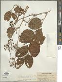 view Smilax bracteata C. Presl digital asset number 1